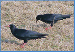 Cornish Chough